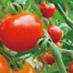 採りたてトマトの販売・摘み採り体験 イベント期間終了
